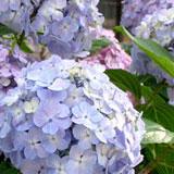 下田の市の花、あじさい