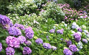梅雨時に咲き誇るいろんな色の可愛らしいあじさいの花
