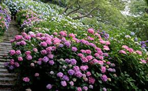 咲き誇るあじさいの花