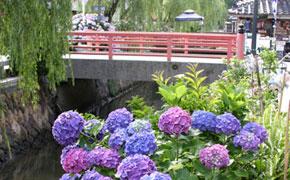 6月:ペリーロードのあじさいの花
