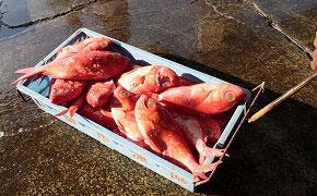 下田でたくさん水揚げされる金目鯛