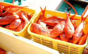 下田の港に毎日水揚げされるたくさんの金目鯛