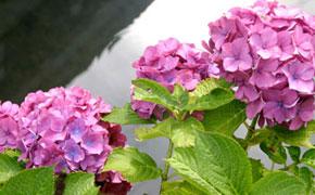下田市内に咲き誇るあじさいの花