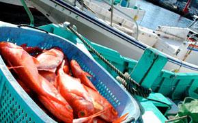 毎日たくさん水揚げされる金目鯛