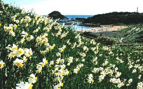 辺り一面咲き乱れる水仙の白い花と下田爪木崎灯台