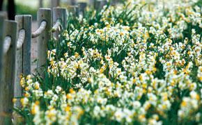 白く可愛らしい水仙の花