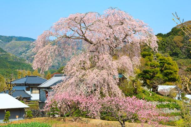 下田を代表する花見の名所 深根城址の枝垂れ桜