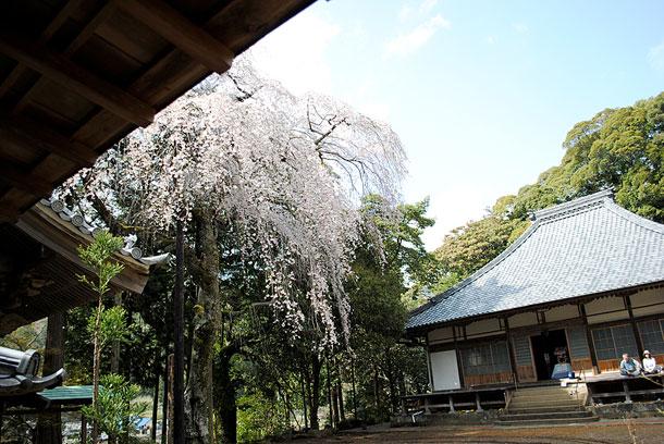 報本寺の枝垂れ桜