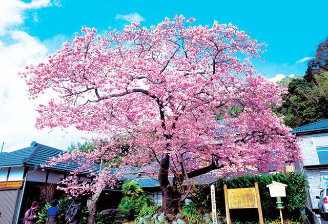 河津町にある河津桜の原木