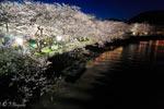 下田市東本郷の夜桜
