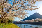 桜と下田富士