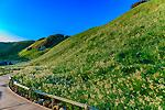 爪木崎に覆い咲く一面の水仙