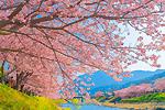 日本一早いお花見を ~河津桜~